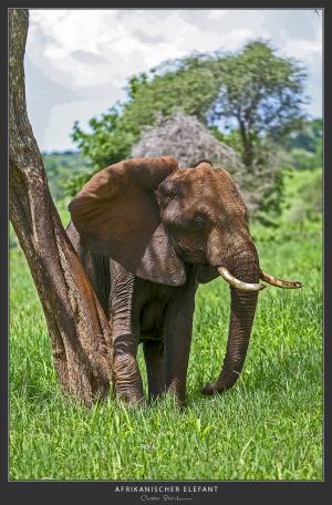 Elefant - Afrika