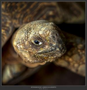Schildköte - Afrika